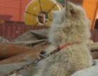 萨摩犬还是银狐犬