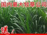 巨菌草种节批发包邮,购高产牧草种