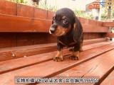 佛山腊肠犬 价格合理 实物拍摄 售后三包
