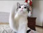 出售纯种短毛猫自家繁殖,品质保证,健康纯种,签协议A44