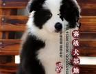 山东青岛边境牧羊犬幼犬价格