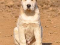 纯种双血统中亚 幼犬 成年犬 带证书 保健康 全国发货