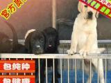 家养纯种导盲犬拉布拉多,温顺听话忠诚的伙伴,签协议