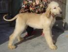 郑州哪有阿富汗猎犬卖 阿富汗猎犬价格 郑州阿富汗猎犬多少钱