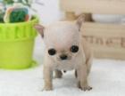 宠物店里的吉娃娃可以买吗 健不健康