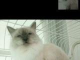 英短蓝猫,蓝白,渐层,银点,布偶