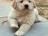 金毛幼犬出售 多只可选 纯种健康已打疫苗