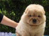 纯种松狮幼犬是很肉嘴,小松狮很温顺也是很迷人可爱的
