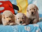 成都出售高品質純種幼犬金毛寵物狗血統純正包健康