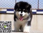 淄博犬舍长期出售-纯种阿拉斯加犬 各类世界名犬 终身包纯种