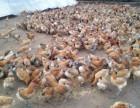 鸡苗批发养殖基地出售优质鸡苗鸭苗鹅苗