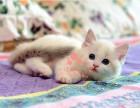 布偶猫多少钱一只 潍坊哪里有卖布偶猫 布偶猫图片