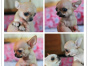 自己家养的双血统吉娃娃犬 颜值高 忍痛出售
