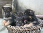 高品质德国牧羊犬出售 疫苗驱虫已做 保证血统健康