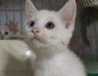 杂交波斯猫和美短红包领养