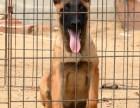 马犬.杜高.罗威纳.卡斯罗.德国牧羊犬.格力犬.比特犬