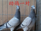 信鸽 血统信鸽 鸽子 公棚信鸽 成绩信鸽出售