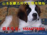 圣伯纳犬_圣伯纳犬价格-大丹犬幼崽销售圣伯纳