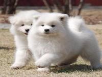 杭州萨摩耶一本地养殖狗场一直销各种世界名犬 常年售卖