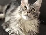 送猫到家 品相高端德文卷毛猫 做好疫苗无病