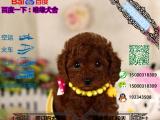 宠物店和狗市里的贵宾犬可以买吗 健康的多少钱一只