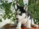 哈士奇幼犬出售 多只可选 纯种健康已打疫苗