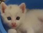 出售自家波斯猫猫仔(2016年9月18日发布)现已两个月
