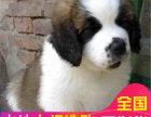 哪里有卖圣伯纳犬圣伯纳犬多少钱 支持全国发货