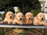 纯双血统金毛犬 可签协议保健康纯种 还狗狗送用品