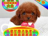 纯种泰迪幼犬 专业繁殖 包纯种签合同保健康