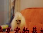 圆头圆脑的小可爱 甜美的小玩具泰迪犬狗狗找新主人 贵宾犬