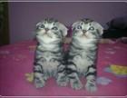 签正规售后协议 出售 折耳猫 可刷卡可送货 自家猫舍繁殖