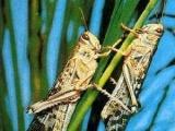 蝗虫蚂蚱特种养殖种苗特种昆虫蝗虫种苗蚂蚱种苗