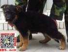 重庆德国牧羊犬什么价格 买卖黑背图片锤系德牧狼狗养殖基地