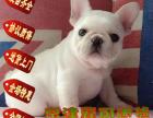 出售纯种法国斗牛犬~协议质保全国包邮京津冀送货上门
