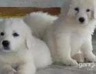 咨询本地较大的大白熊繁殖基地多只幼崽可选 品质健康