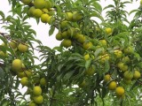 四川哪里有嫁接蜂糖李苗,卖蜂糖李果树苗,蜂糖李子苗种植技术