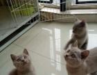 丁香色蓝猫宝宝出售