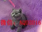 貓舍出售俄羅斯藍貓 包純種健康 可簽協議