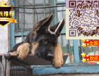 哪里有德国牧羊犬出售,纯种德国牧羊犬价格 德国牧羊犬能长多大