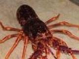 供应微山湖野生淡水小龙虾