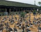 广东省阳江市宠物训养殖场。蜂蛇养殖场。肉鹅市场