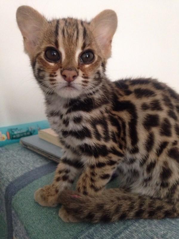 孟加拉豹猫 野性外表温柔家猫性格时尚完美纯种健康!