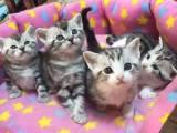 北京美短虎斑猫 加白美短 特价出售银虎斑猫 有偿领养