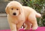 广西南宁赛级血统金毛犬幼犬出售纯种金毛活体宠物狗健康