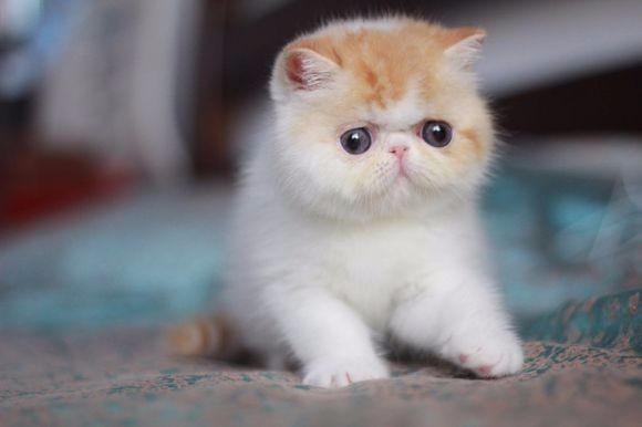 大连哪里有加菲猫卖 自家繁殖 品相极佳 多只可挑