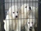 双血统大白熊 专业繁殖 可上门挑选 协议质保
