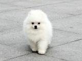 适合家庭饲养博美犬多少钱 要纯一点的
