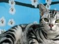 猫猫会所 繁殖出售 短毛猫无病无癣质保一月.品种多多