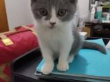 搬家急出 英短蓝白幼猫